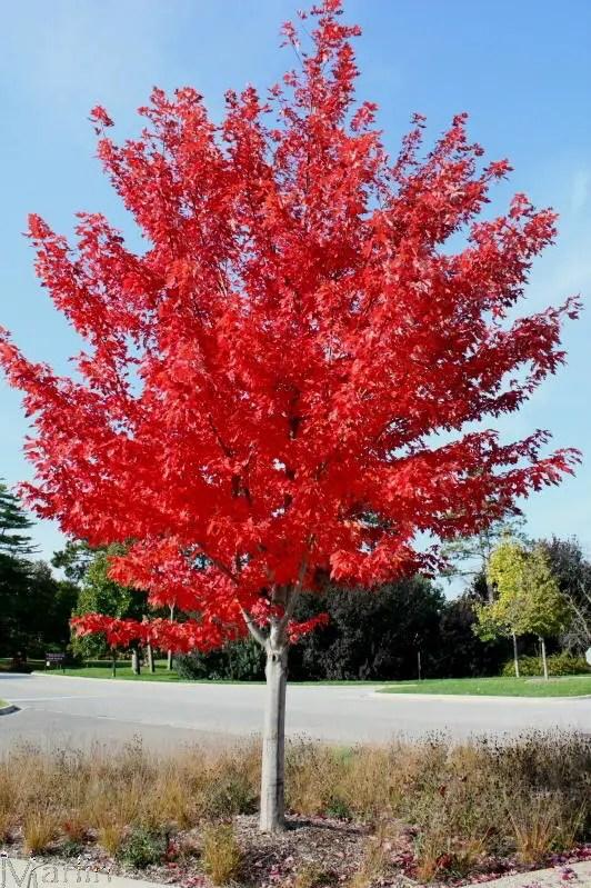 Arbori ornamentali care cresc repede in gradina