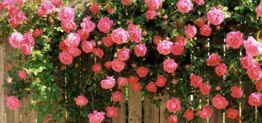 Plante cataratoare cu flori parfumate pentru terasa
