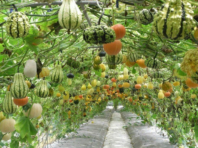cele mai interesante legume decorative Decorative vegetable garden ideas 12