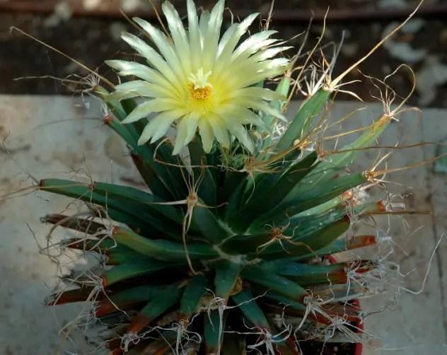 Cei mai frumosi cactusi din lume