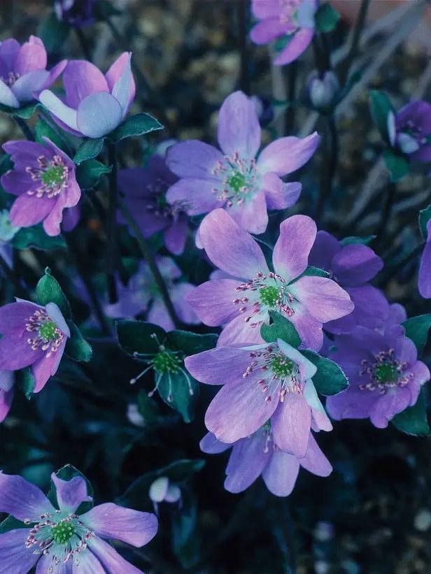 plante care infrunta frigul iernii Winter perennial plants 4