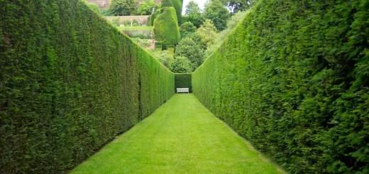 Garduri vii cu crestere rapida in gradina
