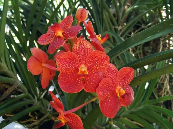 orhideea vanda vanda orchid care 10