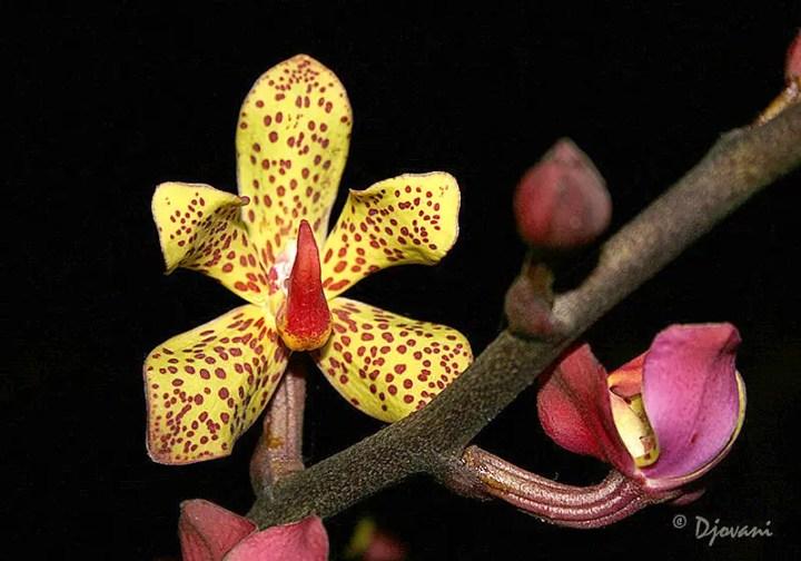 orhideea vanda vanda orchid care 5