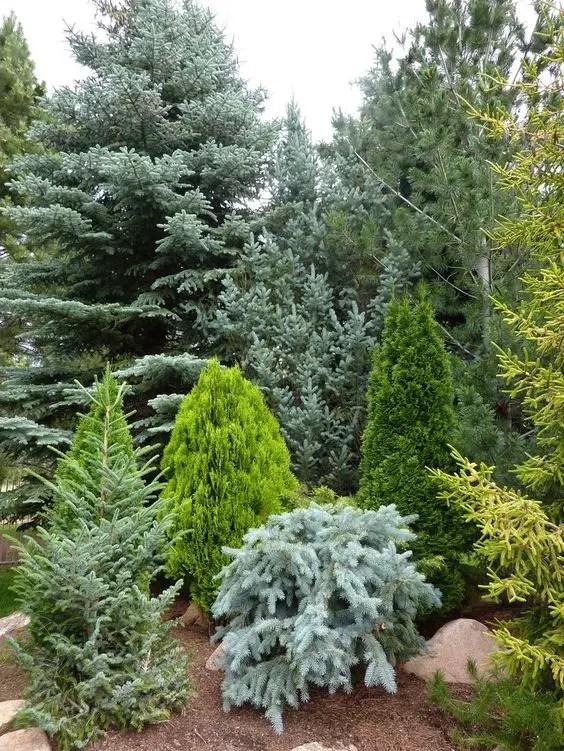 Gradini amenajate cu conifere - o avalansa de culori, forme si straturi