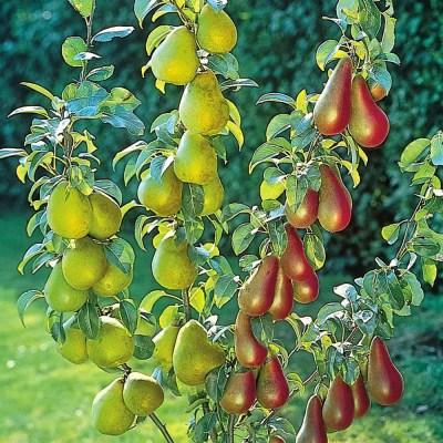 pomi fructiferi pitici par pitic