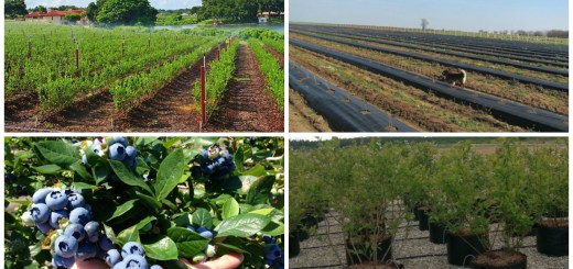 afacere cu afine ghid in agricultura