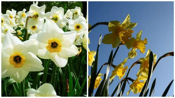 flori de pus toamna in gradina narcise
