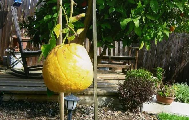 cele mai mari fructe si legume din lume portocala