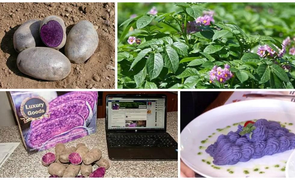 cultivarea cartofilor mov