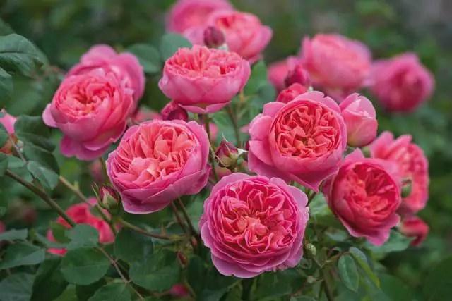 gradini cu trandafiri englezesti