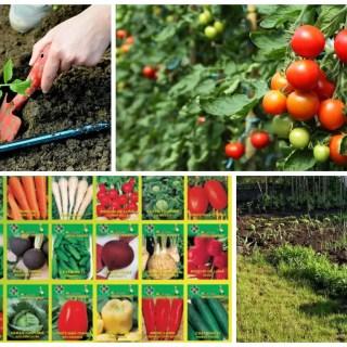 cand se planteaza legumele