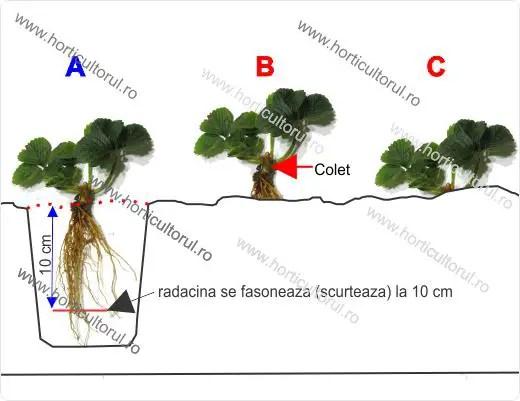 sfaturi pentru plantarea capsunilor primavara