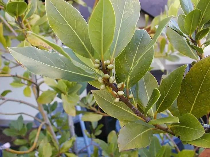 plante care alunga mustele si tantarii