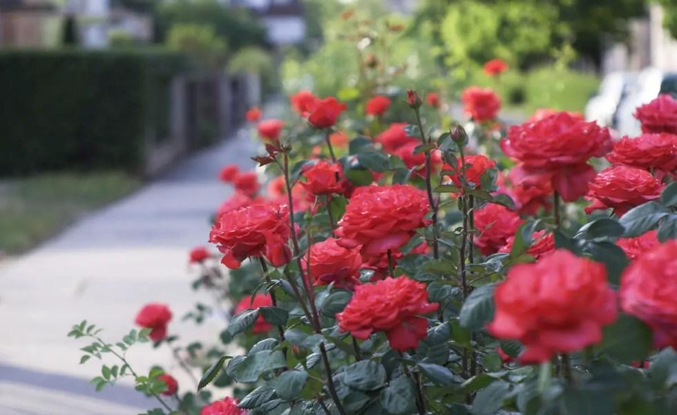 plantarea trandafirilor pas cu pas