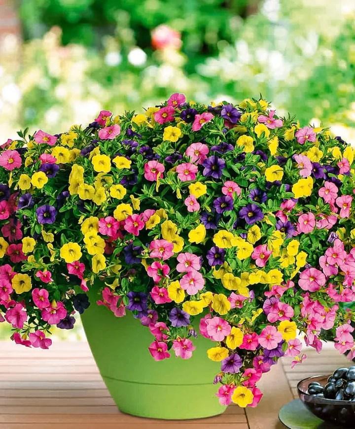 flori curgatoare in ghiveci