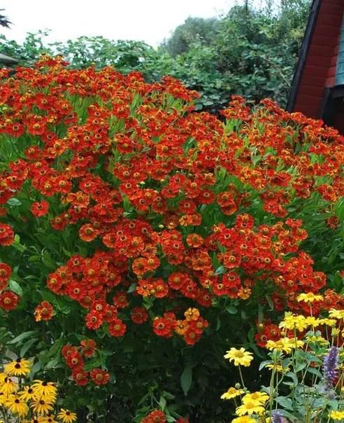 plante perene cu cele mai frumoase flori