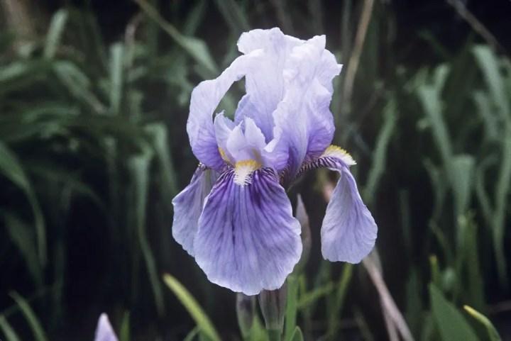 soiuri de iris si cum se ingrijesc