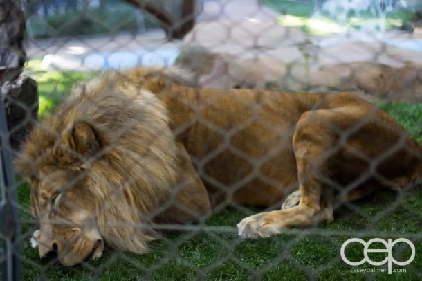 Siegfried & Roy's Secret Garden and Dolphin Habitat — Lion