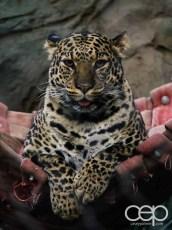 Siegfried & Roy's Secret Garden and Dolphin Habitat — Leopard
