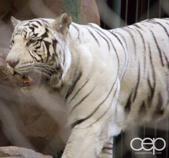 Siegfried & Roy's Secret Garden and Dolphin Habitat — Golden Tiger