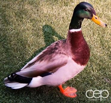 A duck at The Wildlife Habitat at the Flamingo Casino & Hotel in Las Vegas