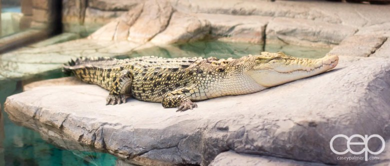 Shark Reef Aquarium at Mandalay Bay — Golden Crocodile