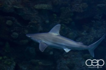 Shark Reef Aquarium at Mandalay Bay — Grey Shark