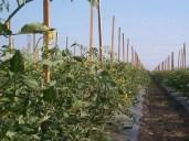Enjoying Subs the LOCAL Way Courtesy of SUBWAY® Restaurants!!! — Ontario Grape Tomato Fields