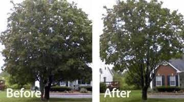 casey tree service lilburn crown thinning pruning