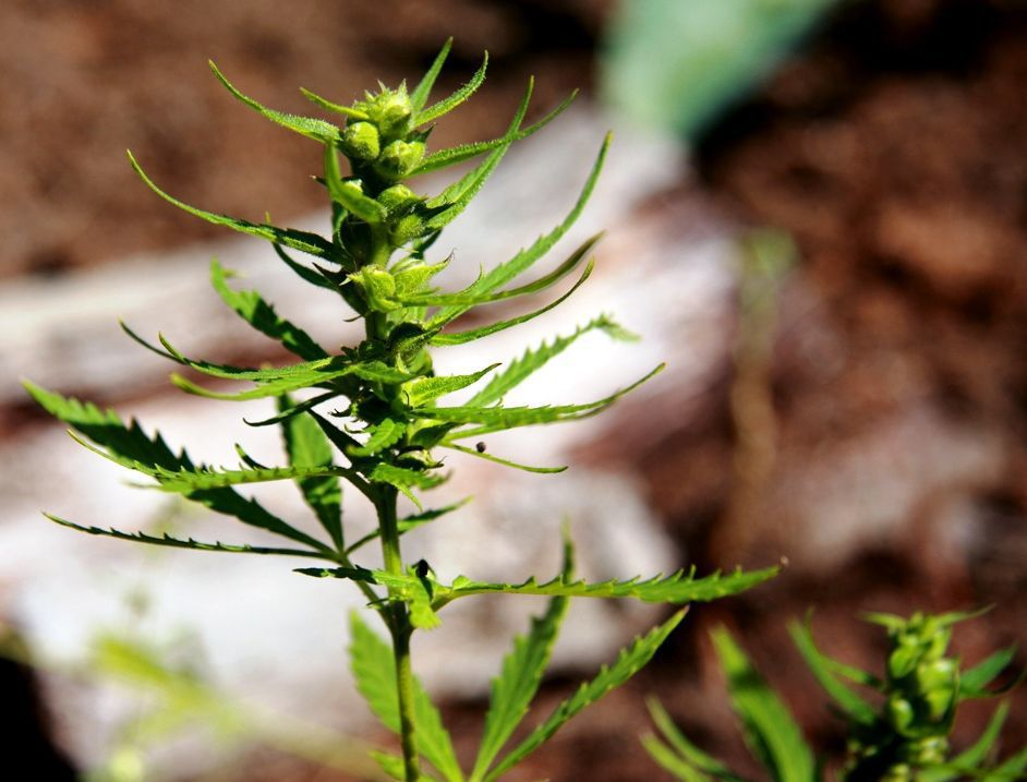 South Carolina will Double the Amount of Industrial Hemp Pilot Programs This Year