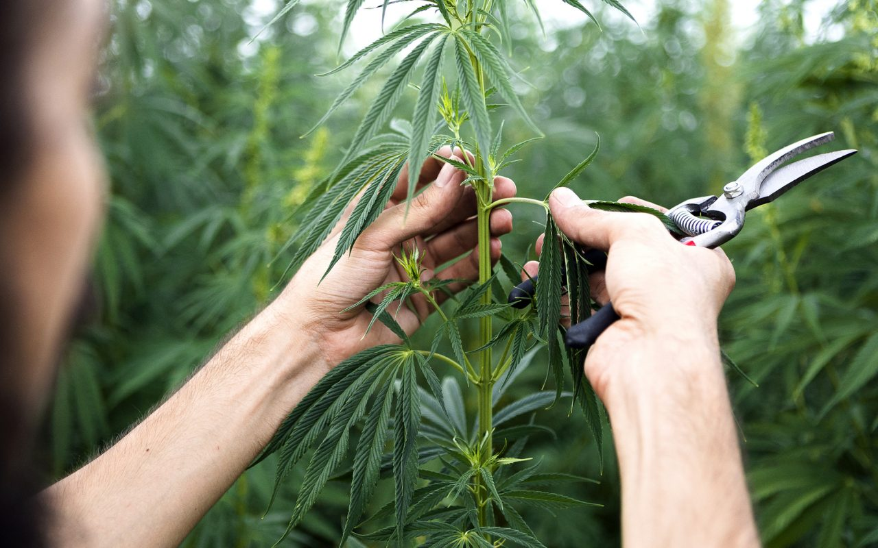 Hawaii Issues First Industrial Hemp Licenses