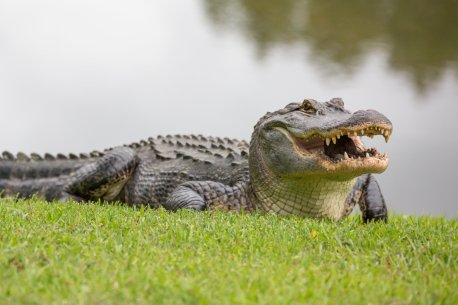 Did we buy an alligator?