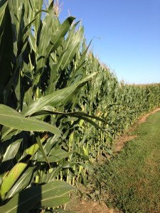 Here is the corn behind the office this morning.