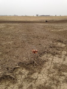 In this photo, you can see the crescent-shaped windrow (lower left to top center) of soybean residue that we are burning.  In the background you can see the grassy levee along Kessinger Ditch, along with a culvert pipe that drains the surface water from the field.  The December 2013 flood from the 5+ inch rain event moved some of the field residue into this windrow.  This windrow shows where the edge of the flood water met the higher ground.  The residue is always piled along the edge of the water.  You can see where  the fire has been started to remove this residue.