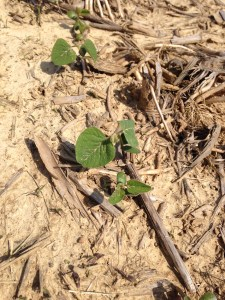 The little beans are liking the warmer days!  You can see in this shot the vestiges of the bean's cotyledons and the development of that first unifoliate leaf