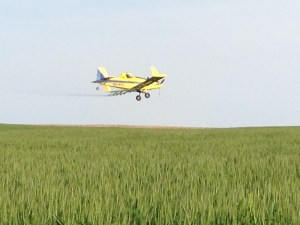 Our crop duster applies fungicide to our wheat during that critical 36-hour window over the weekend.