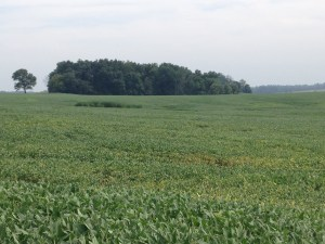 It's barely perceptible, but there is some yellow leaves among the green in these soybeans.  Harvest is coming....but probably a month away...
