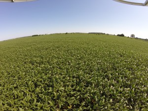 Looking north across the Dunn farm, we are pretty pleased with these Asgrow 3731 soybeans.