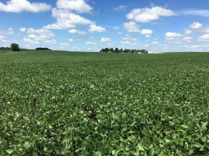 Soybeans at home, planted April 16. Certainly 'knee high' a few days ahead of the 4th.