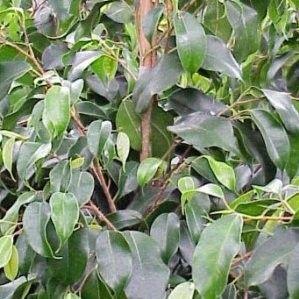 Ficus Benjamina 1,5m
