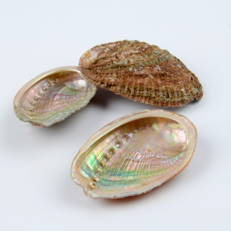 coquille-dormeaux-delevage