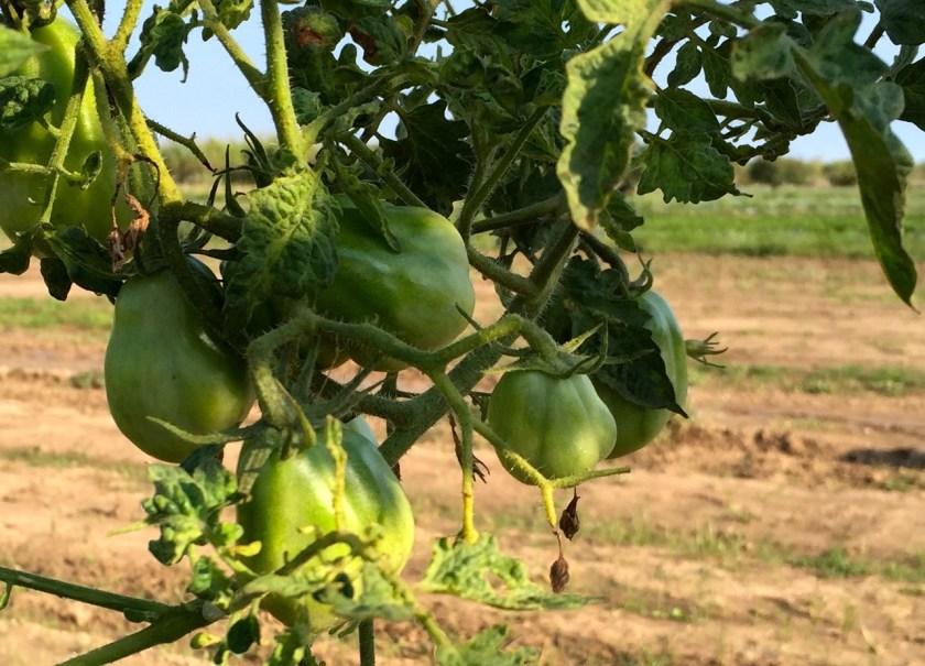 Ochsenherzen Tomaten Cal Tudela