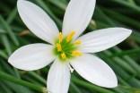 sixpointedflower