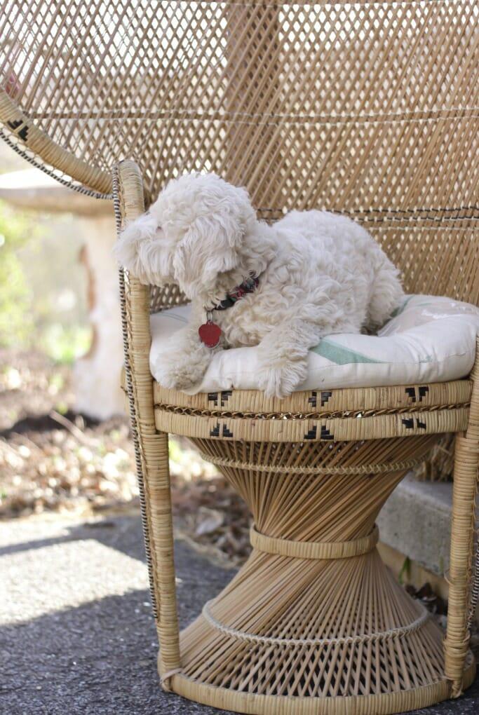 Snowball in Wicker Chair