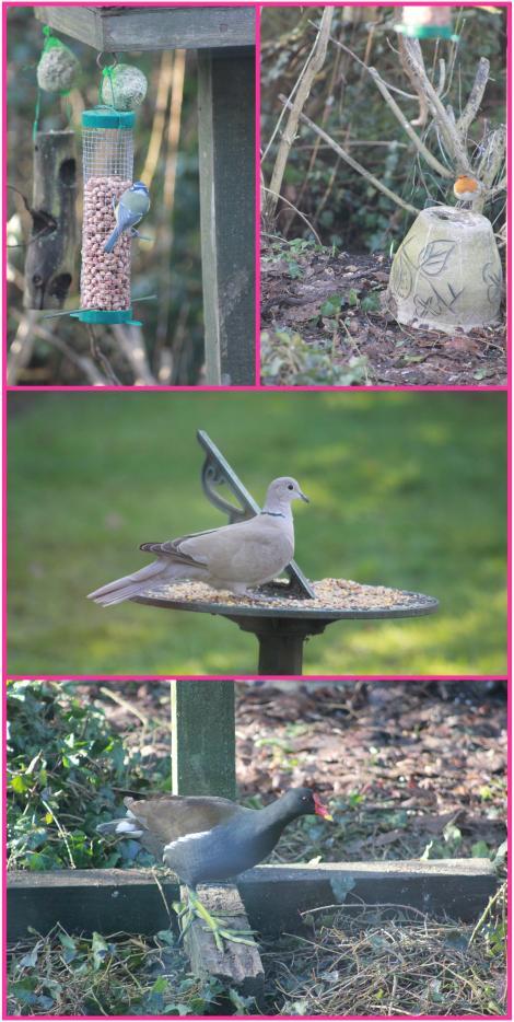rspb big garden birdwatch january 2013 event dove moorhen blue tit robin