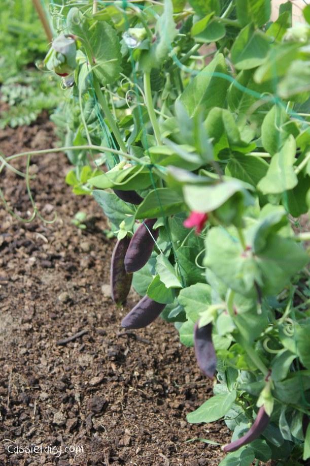 DIY allotment - shiraz mangetout purple pea pods