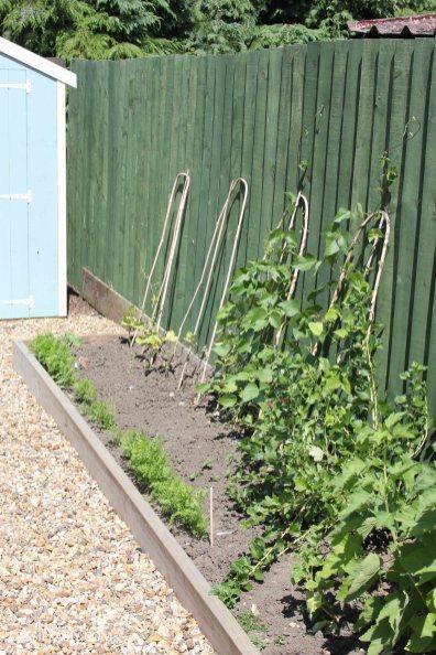 allotment summer garden veggie patch runner beans
