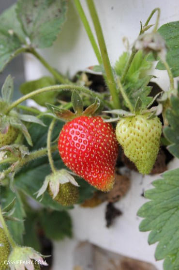 diy gardening grown your own strawberries in greenhouse_-3