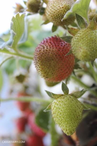 diy gardening grown your own strawberries in greenhouse_-4
